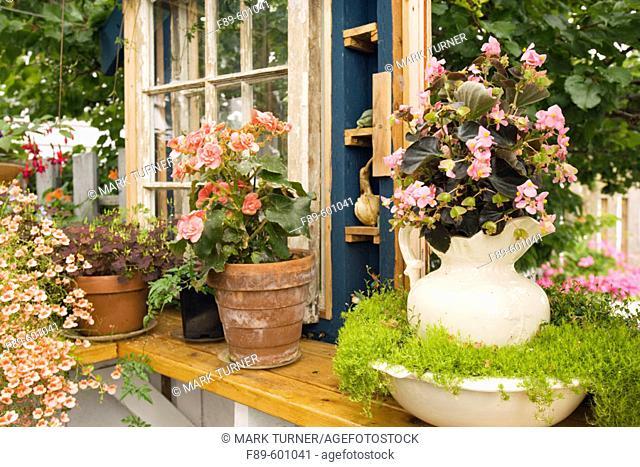 Pink Begonia in antique pitcher w/ Scotch Moss in bowl on greenhouse windowsill w/ orange Begonia, Diascia (Begonia cvs.; Sagina subulata; Diascia cv