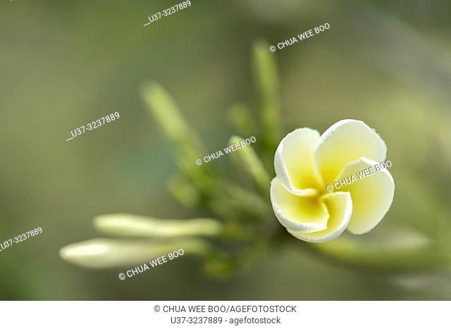 Close up of Plumeria or frangipani white & yellow blossoms on tree in DBKU Orchid Garden, Kuching, Sarawak, Malaysia