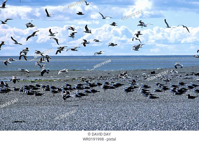 Mass of kelp gulls on mud flats with a few grey gulls and lots landing Larus dominicanus and Larus modestus Rio Grande, Tierra del Fuego, Argentina