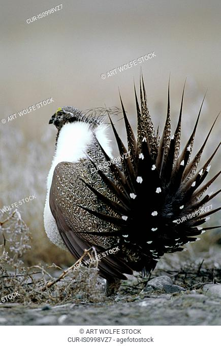 Sage grouse in courtship display on territorial lek, Moses Coulee, Washington