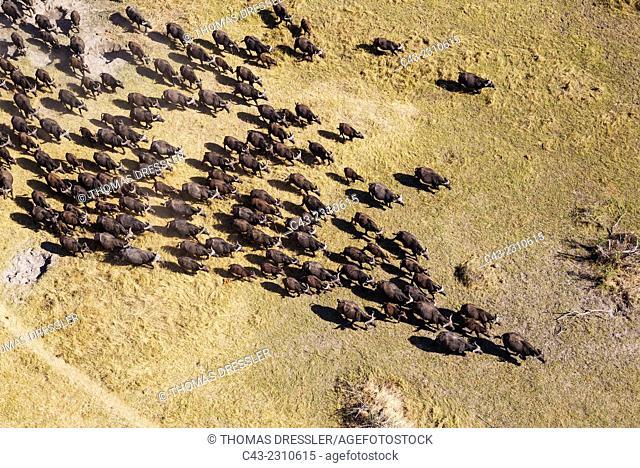 Cape Buffalo (Syncerus caffer caffer), roaming herd, aerial view, Okavango Delta, Moremi Game Reserve, Botswana