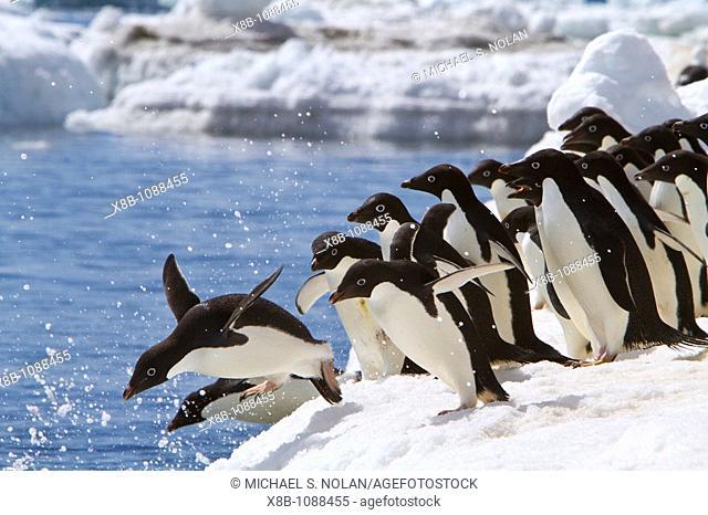 AdÈlie penguin Pygoscelis adeliae near the Antarctic Peninsula, Antarctica  MORE INFO The AdÈlie Penguin is a type of penguin common along the entire Antarctic...