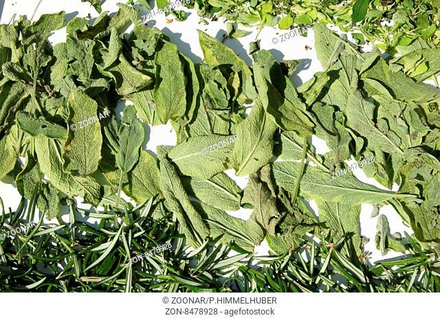 Salvia officinalis, Salbei, Sage, Blätter trocknen