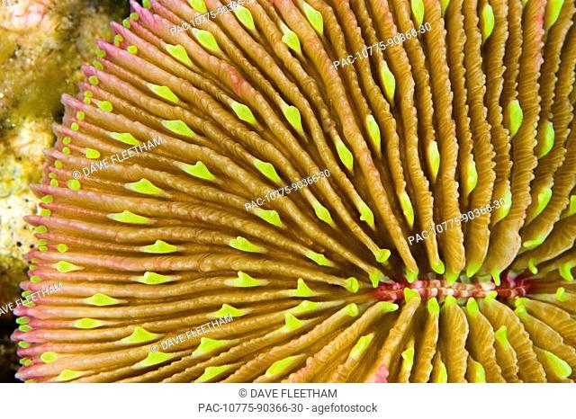 Fiji, Mushroom coral Fungia scutaria is unique in the coral world in that it does not attach itself to the bottom