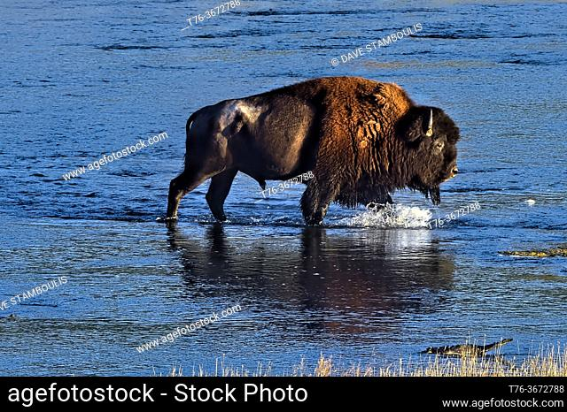 Bison crossing the Yellowstone River, Yellowstone National Park, Wyoming, USA