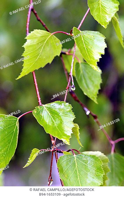 Leaves of poplar (Populus sp., fam. Salicaceae). Osseja, Pyrenees-Orientales, Languedoc-Roussillon, France