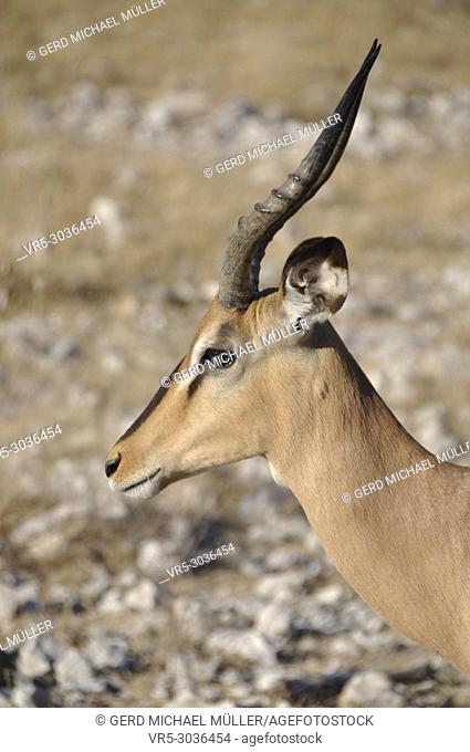 A black nose impala at the namibian Kalahari