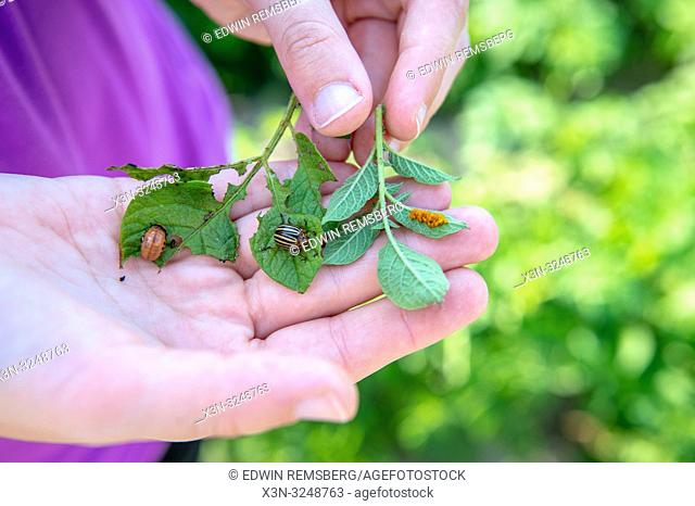 Hand holding leaves with the three life stages, eggs, larvae and mature, of a of a Colorado potato beetle (Leptinotarsa decemlineata), Sieradz