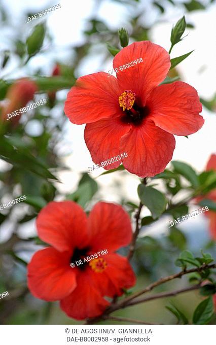 Chinese hibiscus or China rose (Hibiscus rosa-sinensis), Malvaceae, Gardens of Trauttmansdorff Castle, Merano, Trentino-Alto Adige, Italy