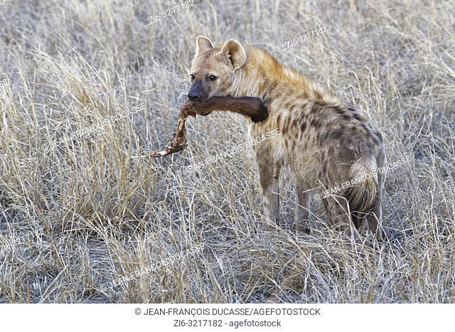 Spotted hyena (Crocuta crocuta), standing adult, with a piece of meat in the mouth, in the evening, Kruger National Park, South Africa, Africa