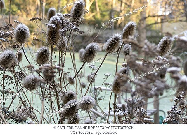 Early morning frost and Spring sunshine on dried teasels and foliage in a communal garden, Bristol, England