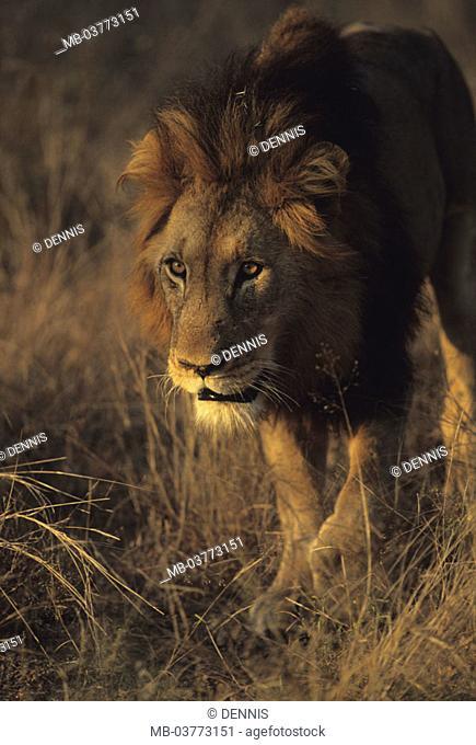 South Africa, Krüger Nationalpark park,  Lion, Panthera Leo, grassland, roves,  Portrait Africa, Krüger-Nationalpark, national park, reservation