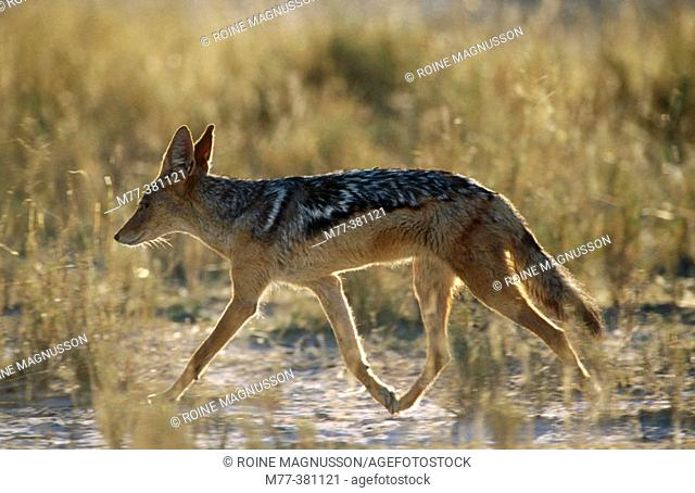 Black-backed Jackal (Canis mesomelas). Etosha National Park, Namibia