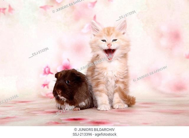 American Longhair, Maine Coon and Long-haired Guinea Pig. Kitten and cavy sitting next to each other. Germany