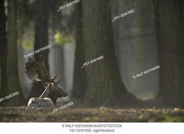 Fallow Deer / Damhirsch (Dama dama) lying / rests on the ground of a hazy light flooded forest.