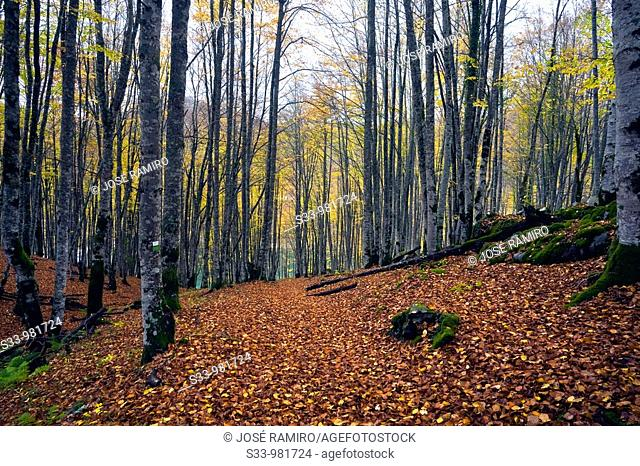 Selva de Irati en Navarra  España