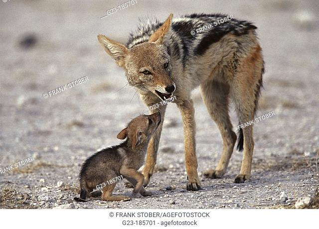 Black-backed Jackals (Canis mesomelas). Namibia