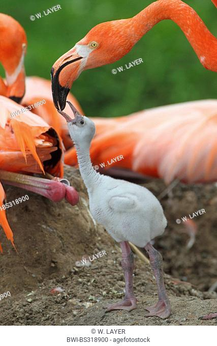 Greater flamingo, American flamingo, Caribbean Flamingo (Phoenicopterus ruber ruber), chick begging