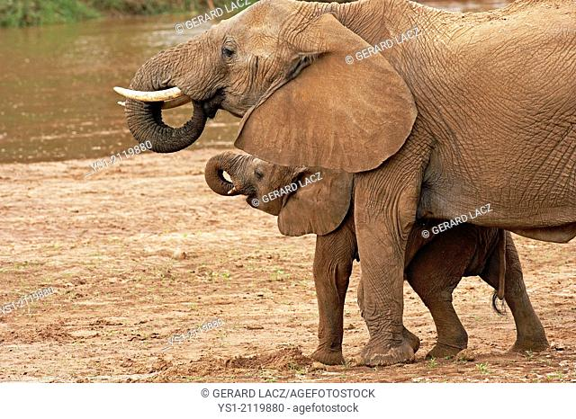 African Elephant, loxodonta africana, Mother and Calf drinking Water, Masai Mara Park in Kenya