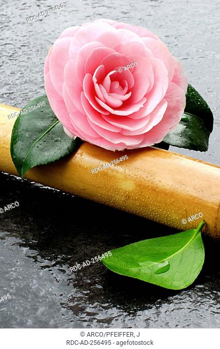 Camellia and bamboo cane Camellia japonica