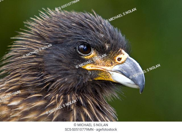 The Striated Caracara, Phalcoboenus australis is a bird of prey of the Falconidae family In the Falkland Islands it is known as Johnny Rook It breeds in several...