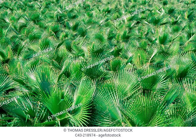 Palm trees cultivation near the town of Lora del Río, in the Guadalquivir River Valley. Seville province.  Andalusia. Spain