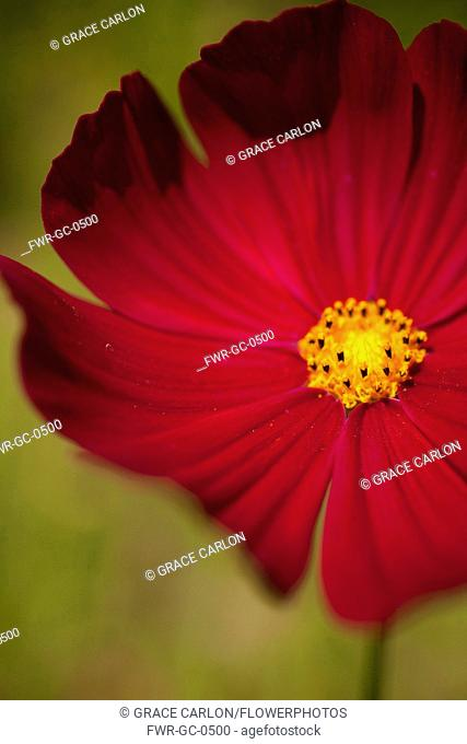 Cosmos, Red coloured flower growing outdoor showing stamen.-