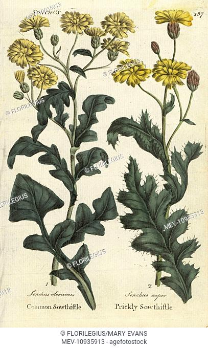 Sowthistle and prickly sowthistle. Handcolored botanical copperplate engraving from Joshua Hamilton's Culpeper's English Family Physician; or Medical Herbal...
