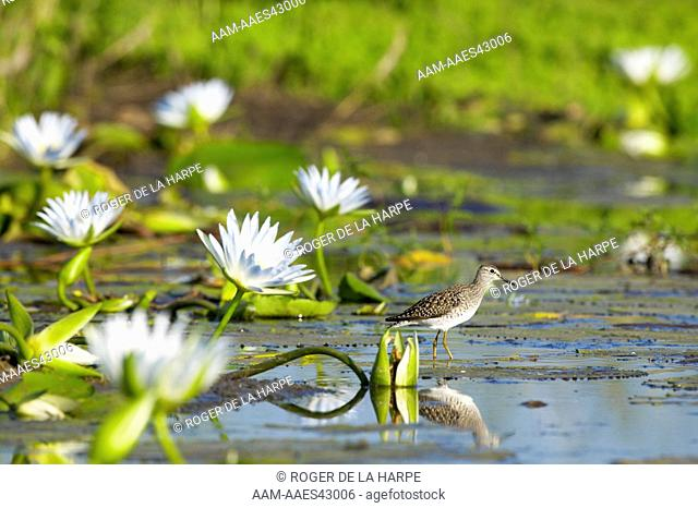 Wood Sandpiper (Tringa ochropus) in wetland with Blue Water Lilies (Nymphaea caerulea) . Northern Tuli Game Reserve. Botswana