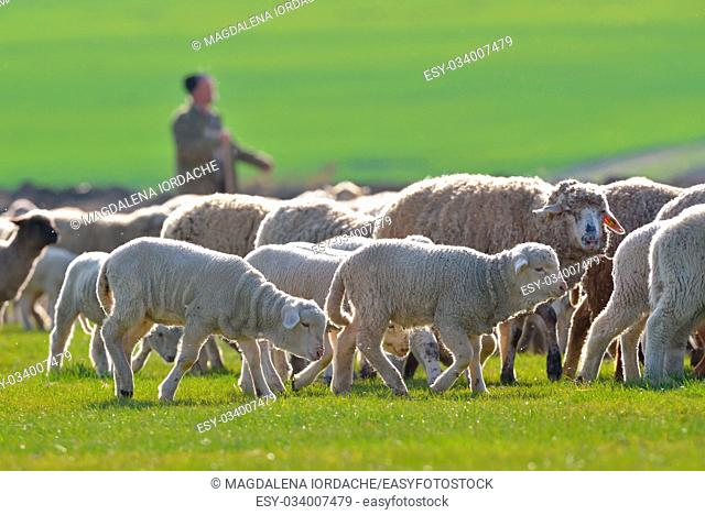 Sheep and lambs in spring field