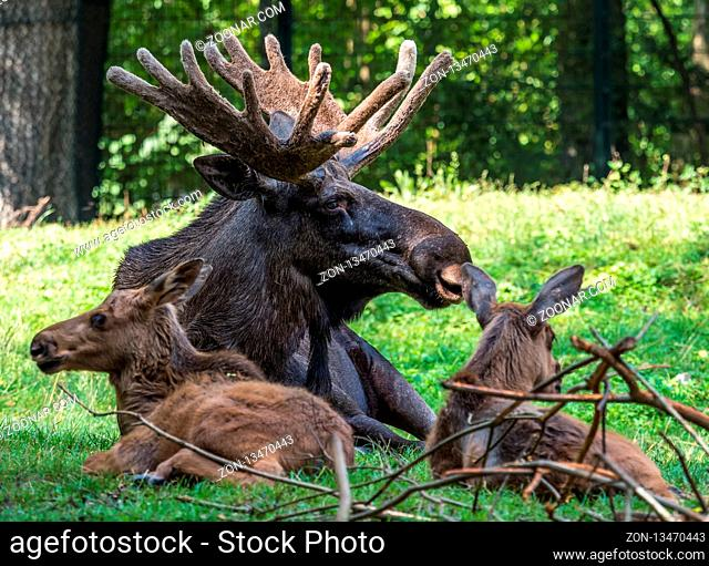European Moose, Alces alces, also known as the elk. Wild life animal