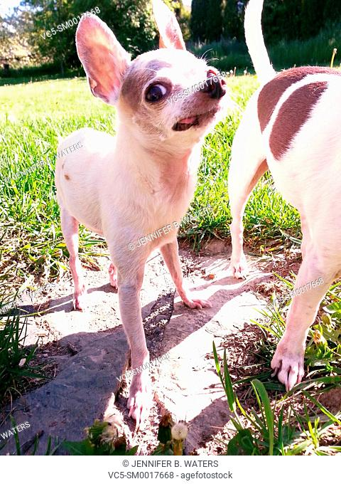 Close-up of chihuahuas outdoors