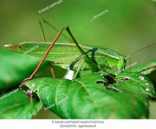 Katydid. Insecta. Orthoptera. Tettigoniidae. Michigan, USA.