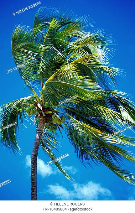 Dickenson Bay Antigua Coconut Palm Tree With Coconuts
