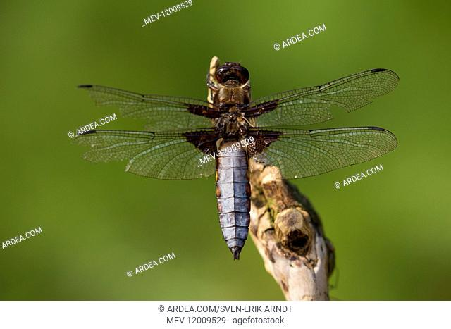 Broad-bodied Libellula, Broad-bodied Chaser - male resting on a stalk - Germany
