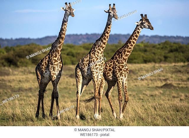3 Giraffes walking on the savanna