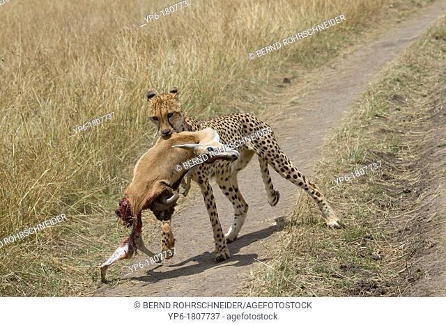 Cheetah Acinonyx jubatus carrying dead Thomson's Gazelle, Masai Mara, Kenya