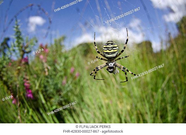 Black-and-yellow Orb-web Spider (Argiope bruennichi) adult female, feeding on prey in web, in lowland heathland habitat, Arne, Dorset, England, August
