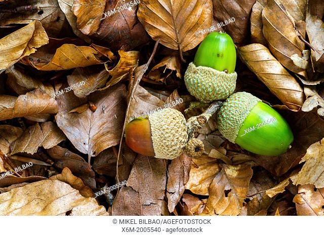 Oak tree nuts. Gorbeia Natural Park. Alava, Basque Country, Spain, Europe