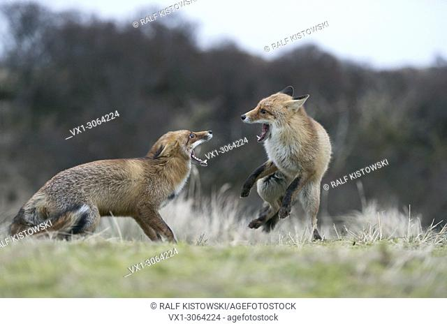 Red Foxes (Vulpes vulpes) in aggressive fight, fighting, threatening with wide open jaws, attacking each other, during rut, wildlife, Germany, Europe