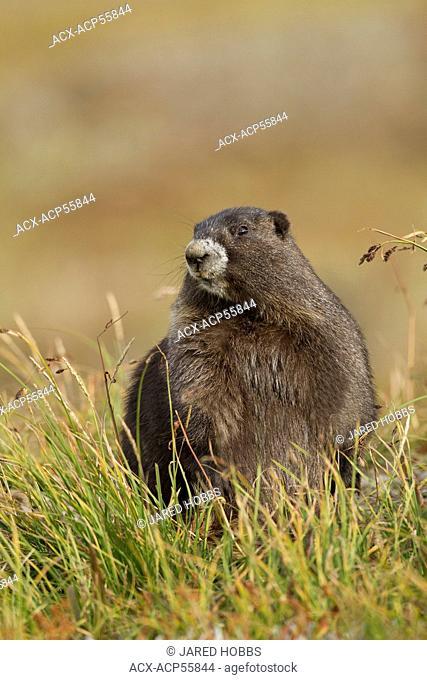 Olympic Marmot, Marmota olympus, Washington, USA