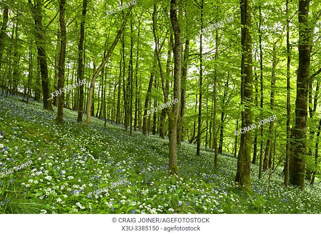 Ramsons in Long Wood which forms part of the Cheddar Gorge complex in the Mendip Hills, Somerset, England