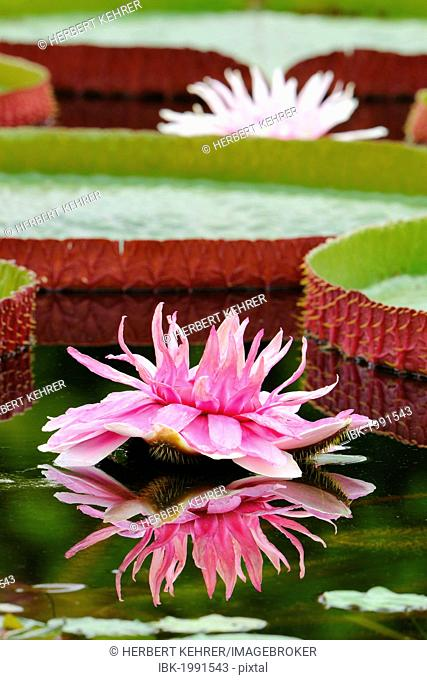 Giant Amazonian Water Lily (Victoria amazonica), lily pond, Stuttgart, Baden-Wuerttemberg, Germany, Europe