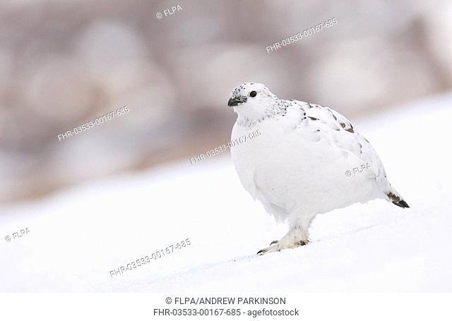 Rock Ptarmigan Lagopus mutus adult female, white winter plumage, walking down snowfield, Cairngorm Mountains, Highlands, Scotland, february