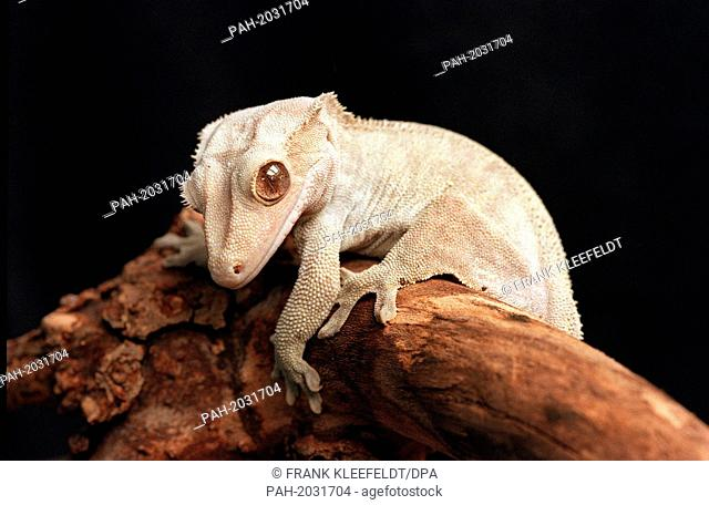 A crested gecko climbing on a tree trunk at the zoo in Frankfurt, Germany, 23 February 1995. | usage worldwide. - Frankfurt:Main/Hessen/Germany