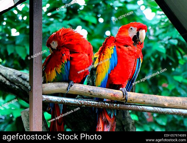 Scarlet macaw (Ara macao) is a large red, yellow, and blue South American parrot