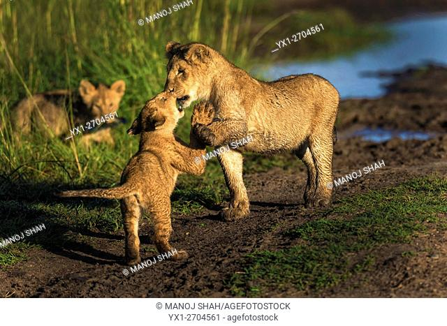 Lion cubs at play, Masai Mara National Reserve, Kenya