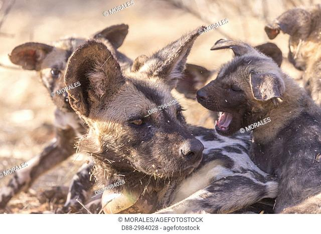 Africa, Southern Africa, South African Republic, Kalahari Desert, African wild dog or African hunting dog or African painted dog (Lycaon pictus)