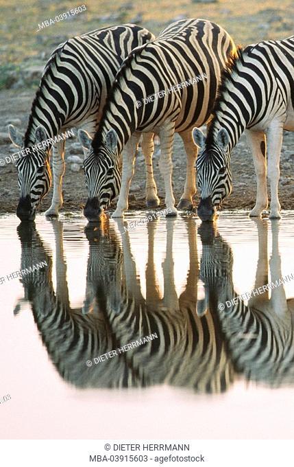 Riversides, Plains Zebras, Equus quagga, drinks, reflection, water-surface, Africa, South Africa, southwest-Africa, Namibia, Etosha, Etosha Natioal park, nature