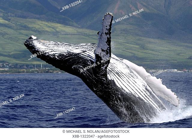 Adult Humpback Whale Megaptera novaeangliae breaching in the AuAu Channel, Maui, Hawaii, USA